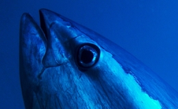 Project IT Services. Close-up on a Tuna's eye
